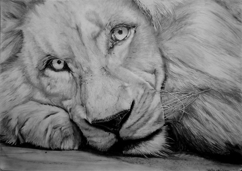 white_lion_by_damiank
